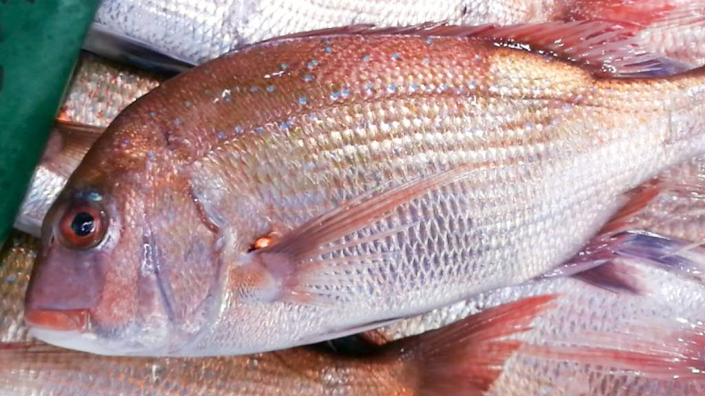 明石天然鯛